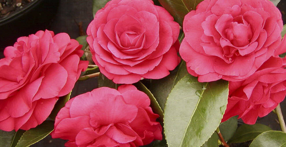 Домашние цветы камелия