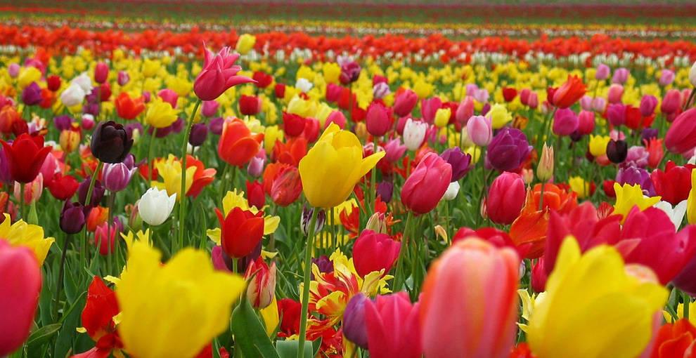 Тюльпаны – посадка и уход в открытом грунте. Когда сажать тюльпаны. Как посадить тюльпаны