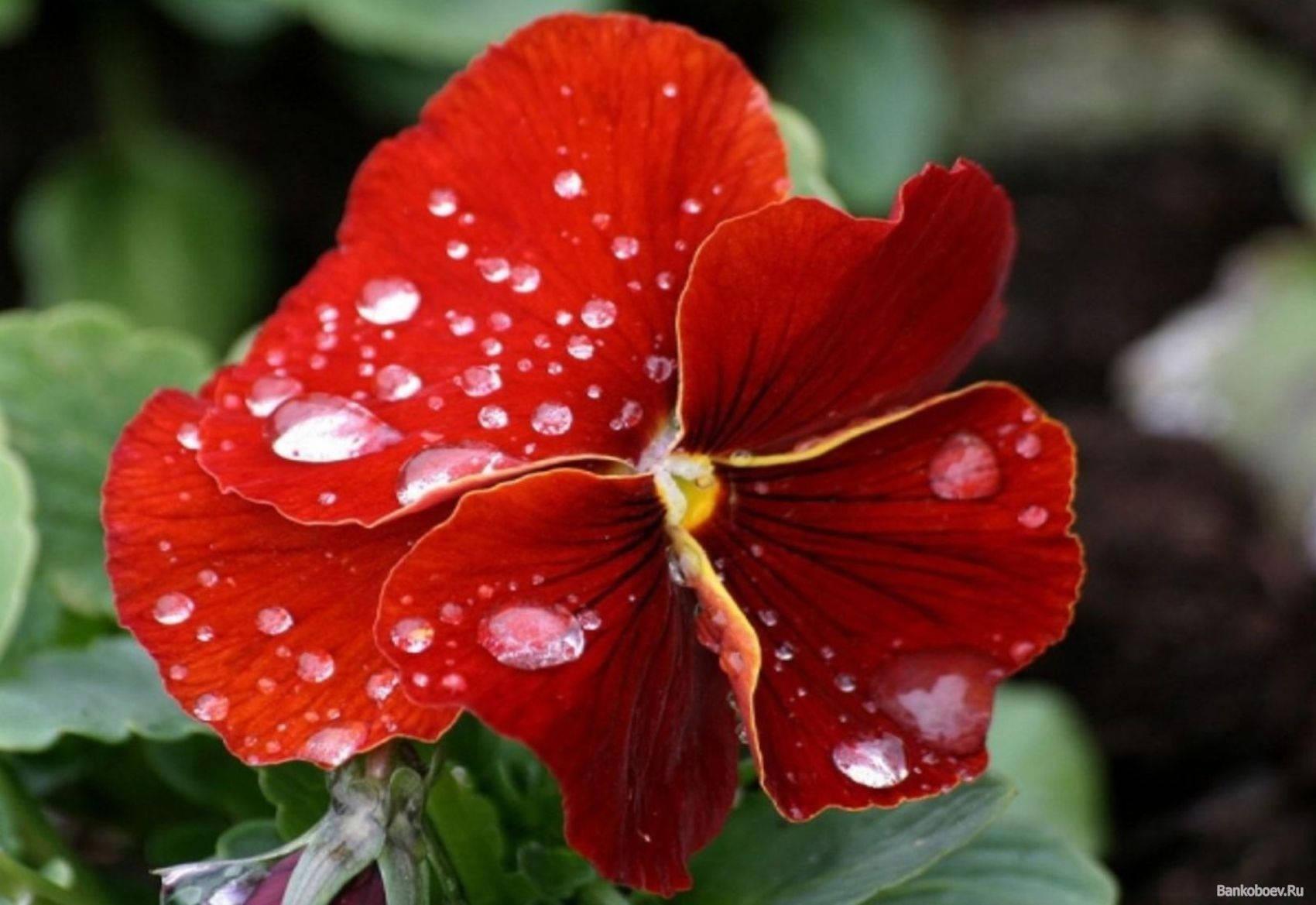красные цветы для дома