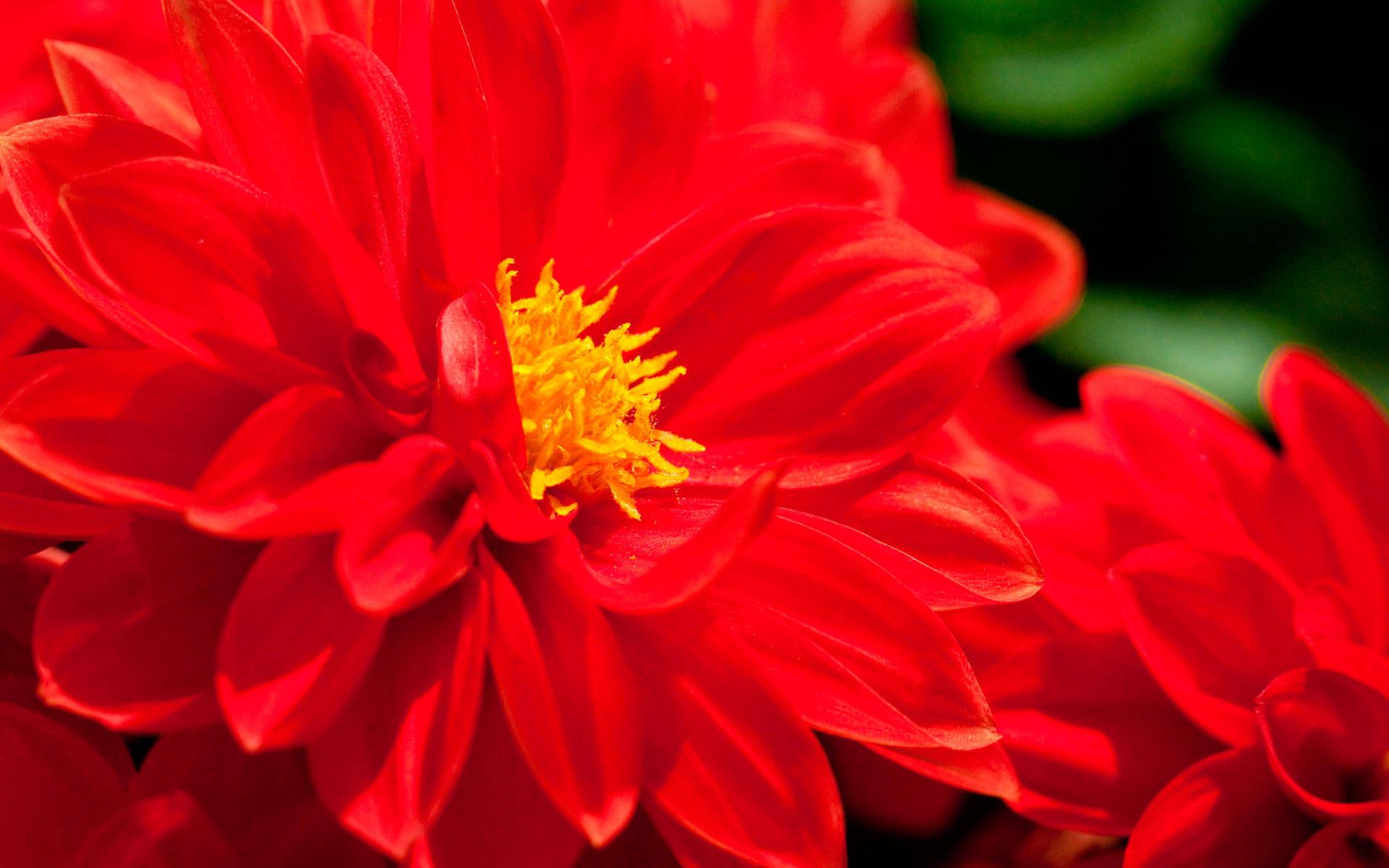 красный цветок фото