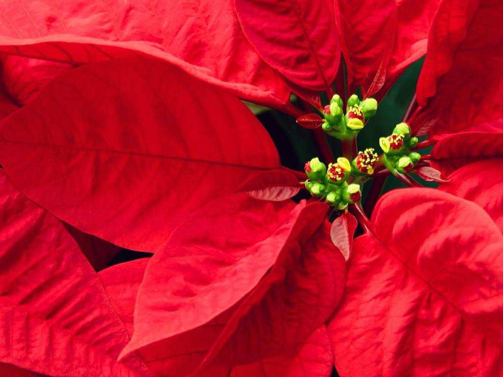 цветок красного цвета