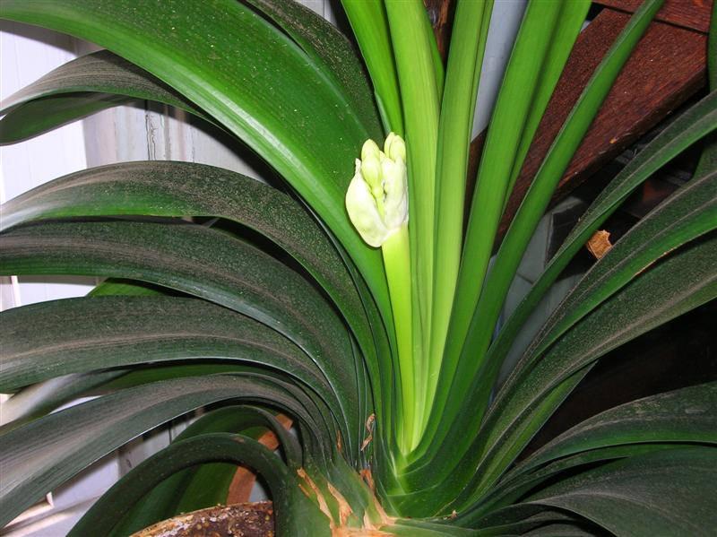 Комнатное растение с длинными широкими листьями фото и название