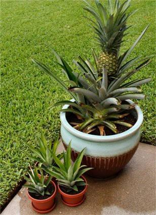 Ананас — комнатное растение: как вырастить ананас в домашних условиях