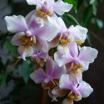 Бело-розовый фаленопсис филадельфия