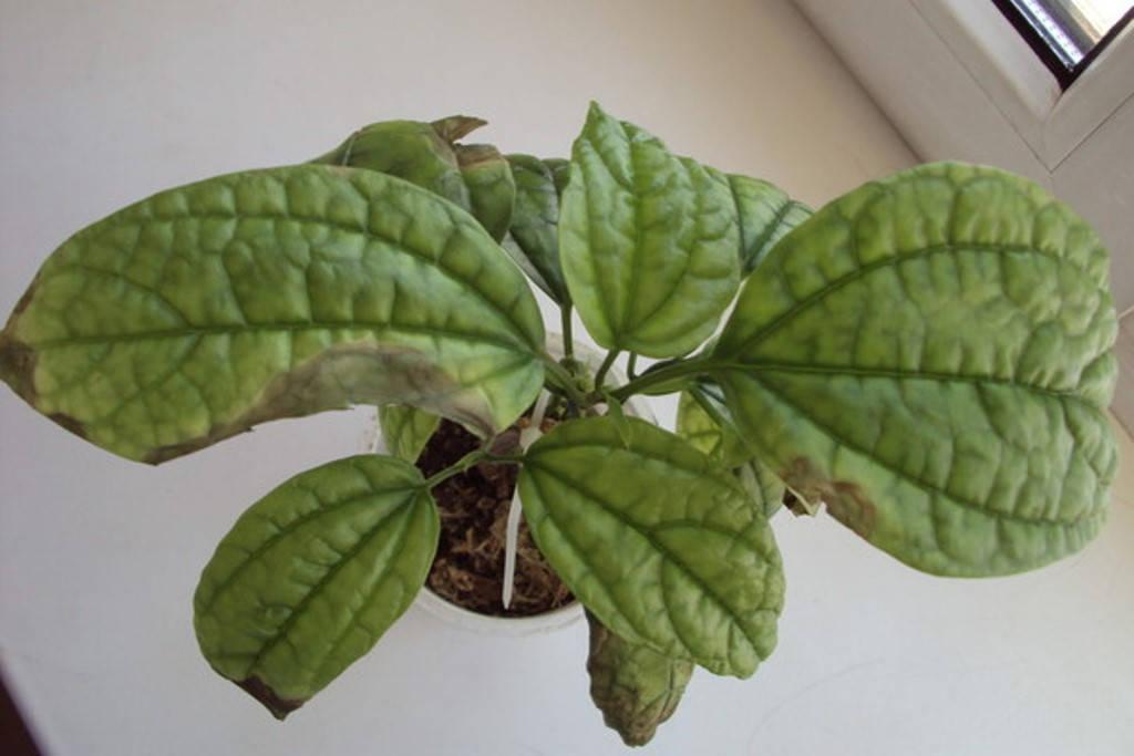 Заболевание листьев клеродендрума