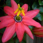 Красная банановая пассифлора