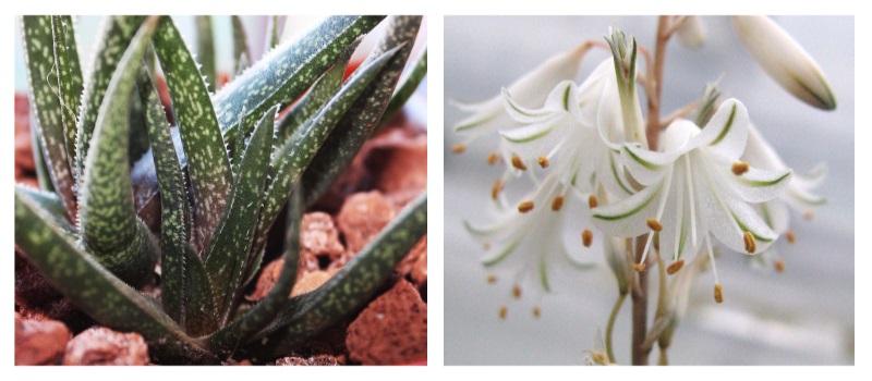 Белоцветковое цветение алоэ