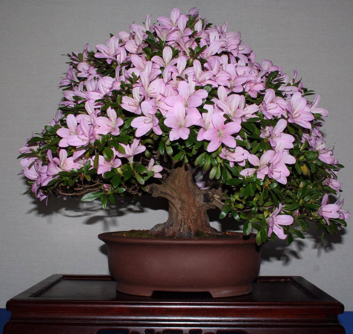 Дерево нежно-розовой азалии