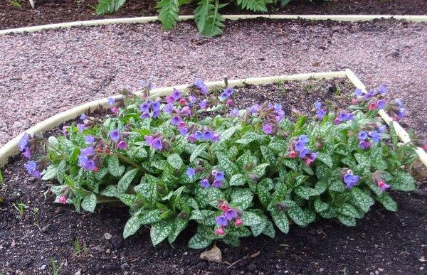 Цветущие кусты медуницы Berries and Cream в саду