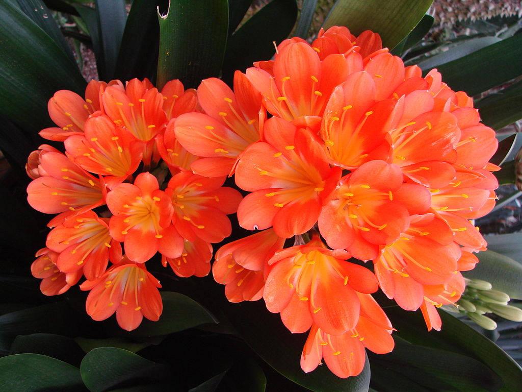 Цветы красной кливии