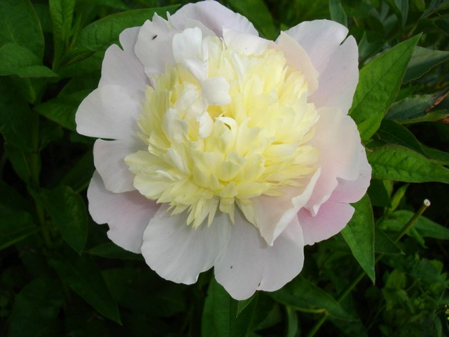 Цветок древовидного пиона Примавера