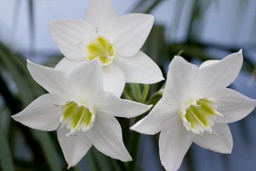Белые цветы эухариса