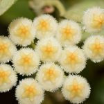 Хойя Лакунорза цветение