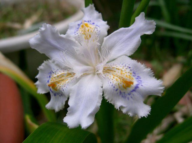 Необычный цветок ириса сибирского