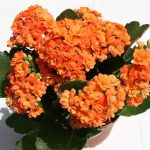 каланхоэ Блоссфельда оранжевое