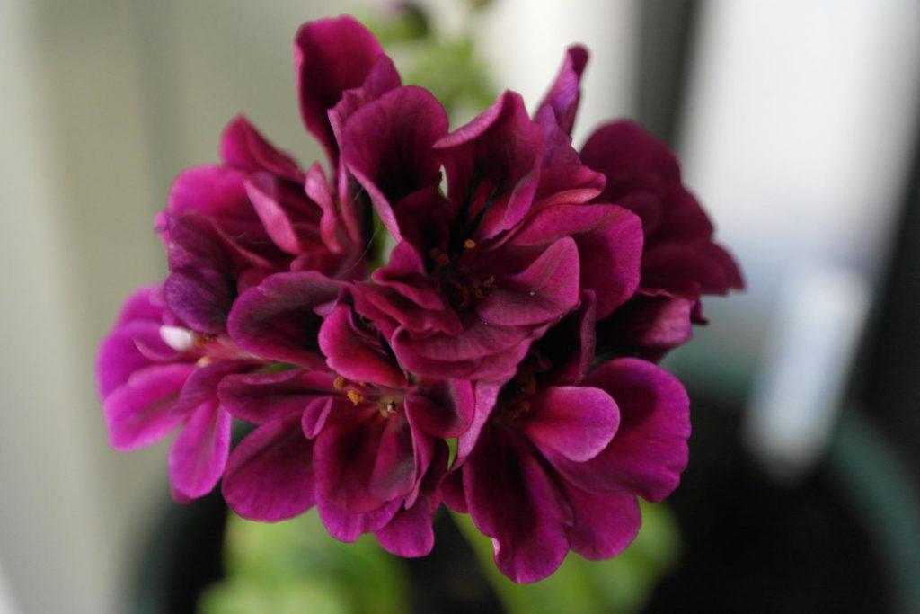 цвет марсала у пеларгонии pink ice