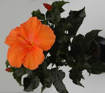 Оранжевый гибискус торино