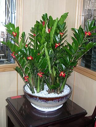 Замиокулькас с красными цветками