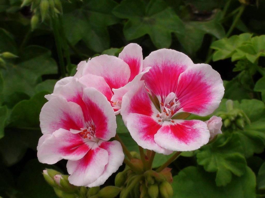 Небольшой цветок пеларгонии