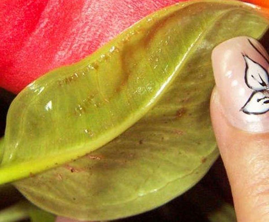 Серая гниль на листьях аглаонемы