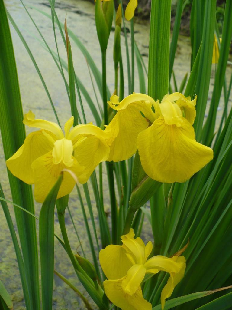 Желтые цветки аира болотного