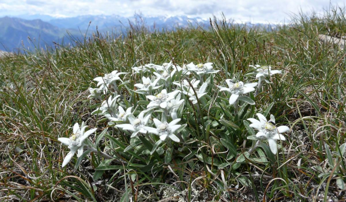 Куст альпийского эдельвейса в горах
