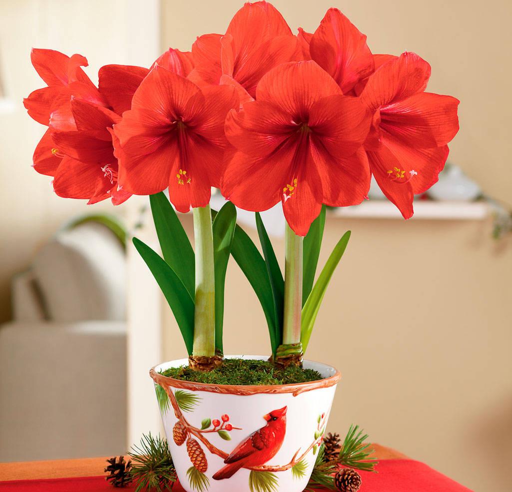Луковичные цветы фото амариллис