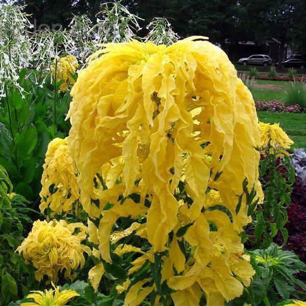 Желтый декоративный амарант