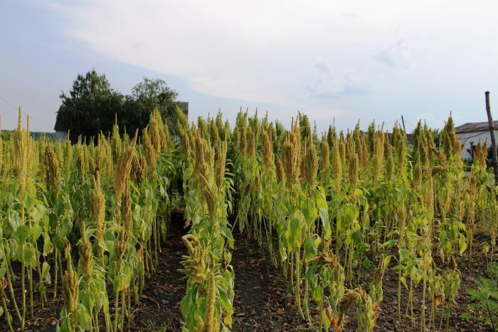 Плантации амаранта зернового Ультра