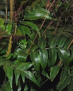 Листья анемии
