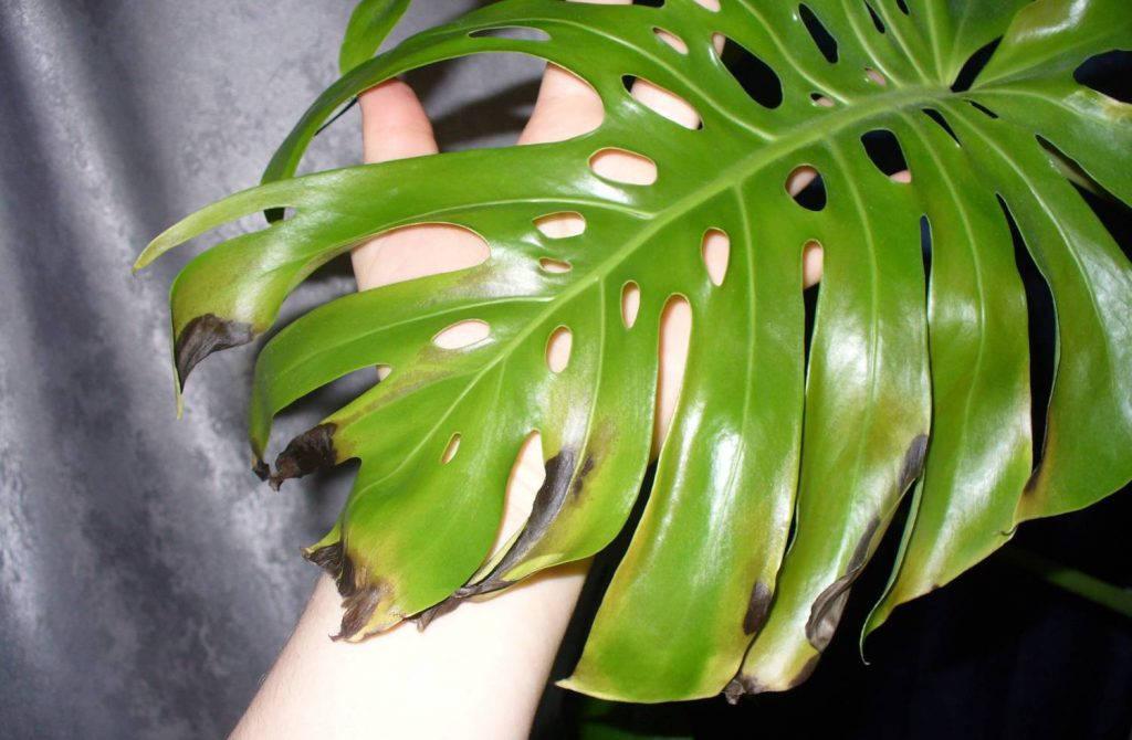 Антракноз листьев монстеры