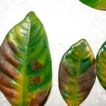 Заболевание листьев гардении