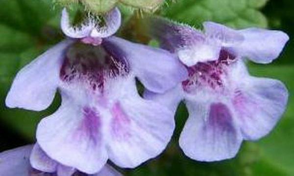 Цветки будры плющевидной