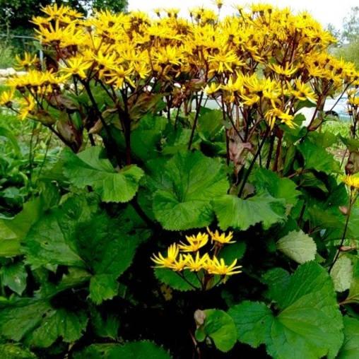 Куст бузульника Дездемона в цветении