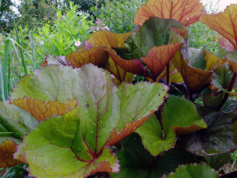 Листья бузульника Отелло