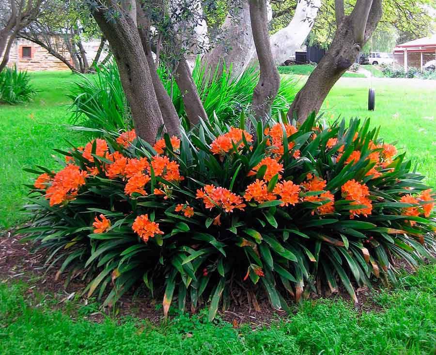 Цветение кливии в саду