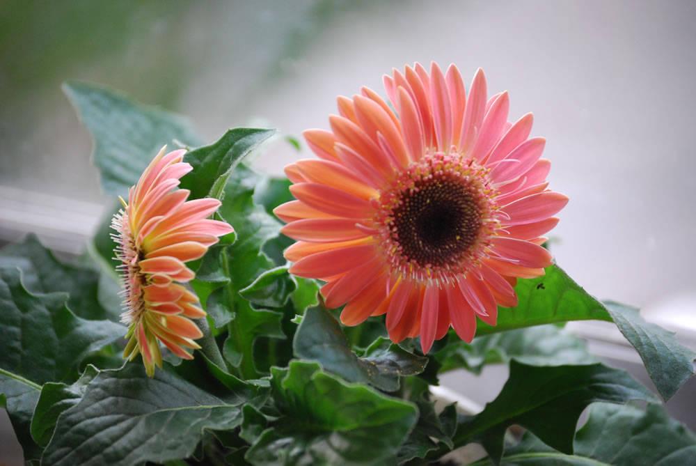 Цветение домашней герберы