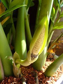 Появление цветка замиокулькаса в домашней среде