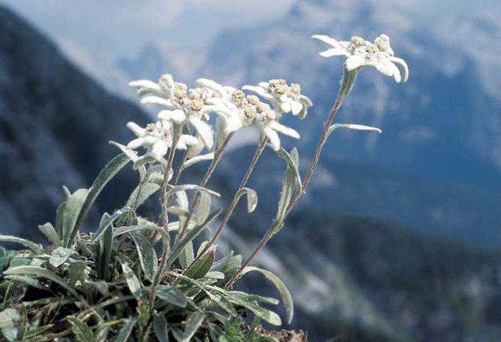 Цветы эдельвейса в природной среде