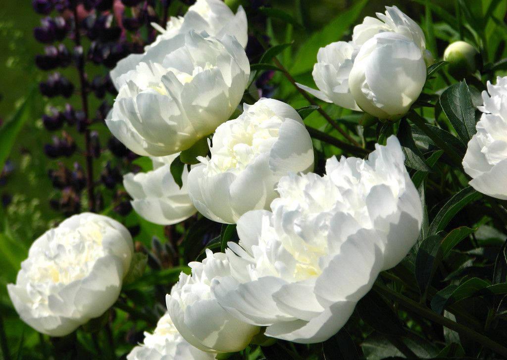 Куст белоснежных пионов в саду