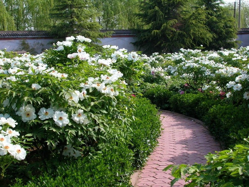 Белый древовидный пион вдоль дорожки в саду