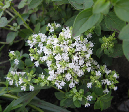 Душица белая в цветении