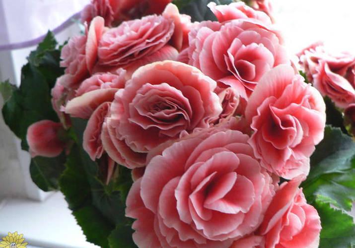 Розовые цветки бегонии Элатиор на окне