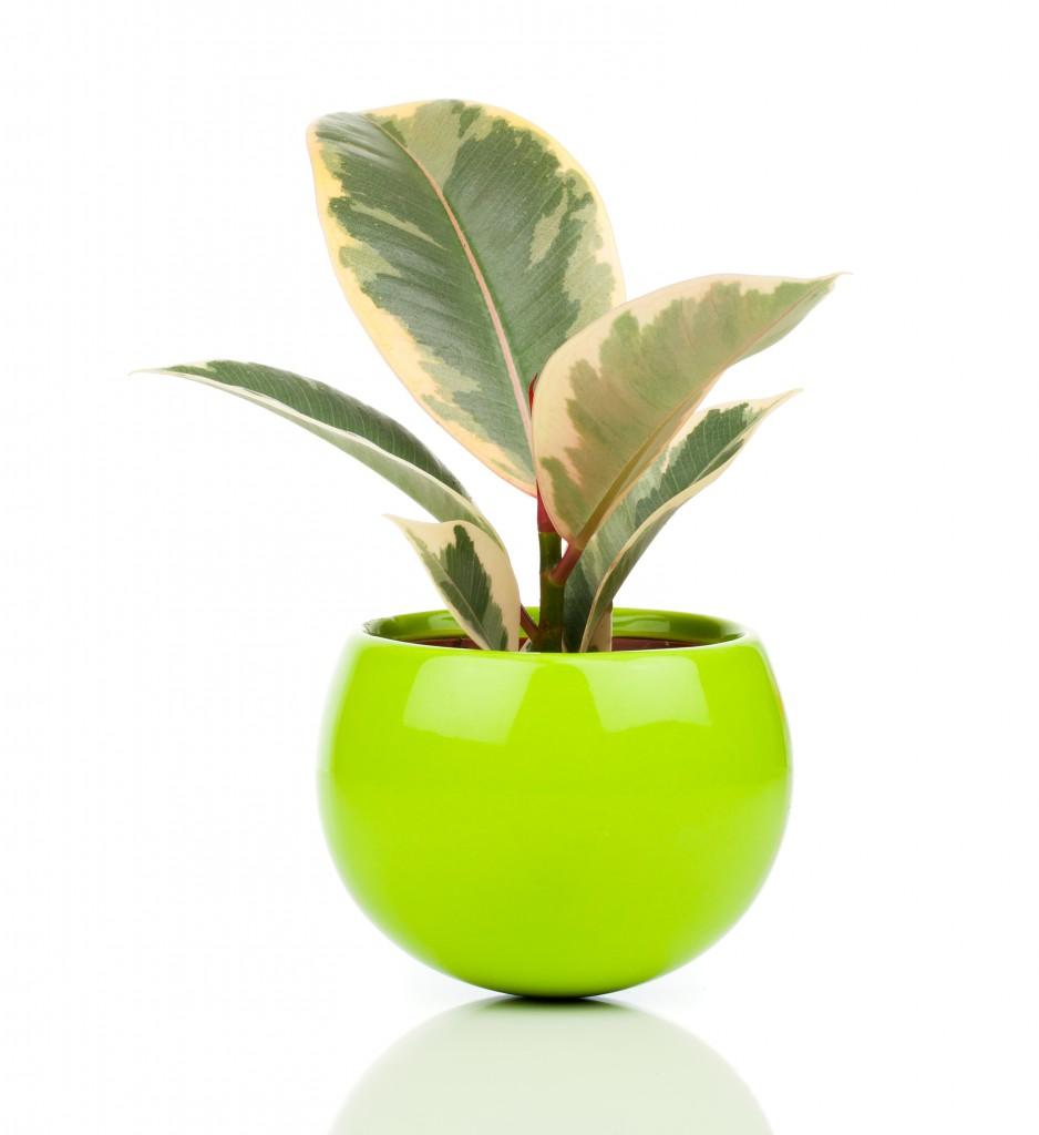 Тинеке фикус в круглом зеленом горшке