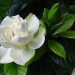 Цветок гардении белый