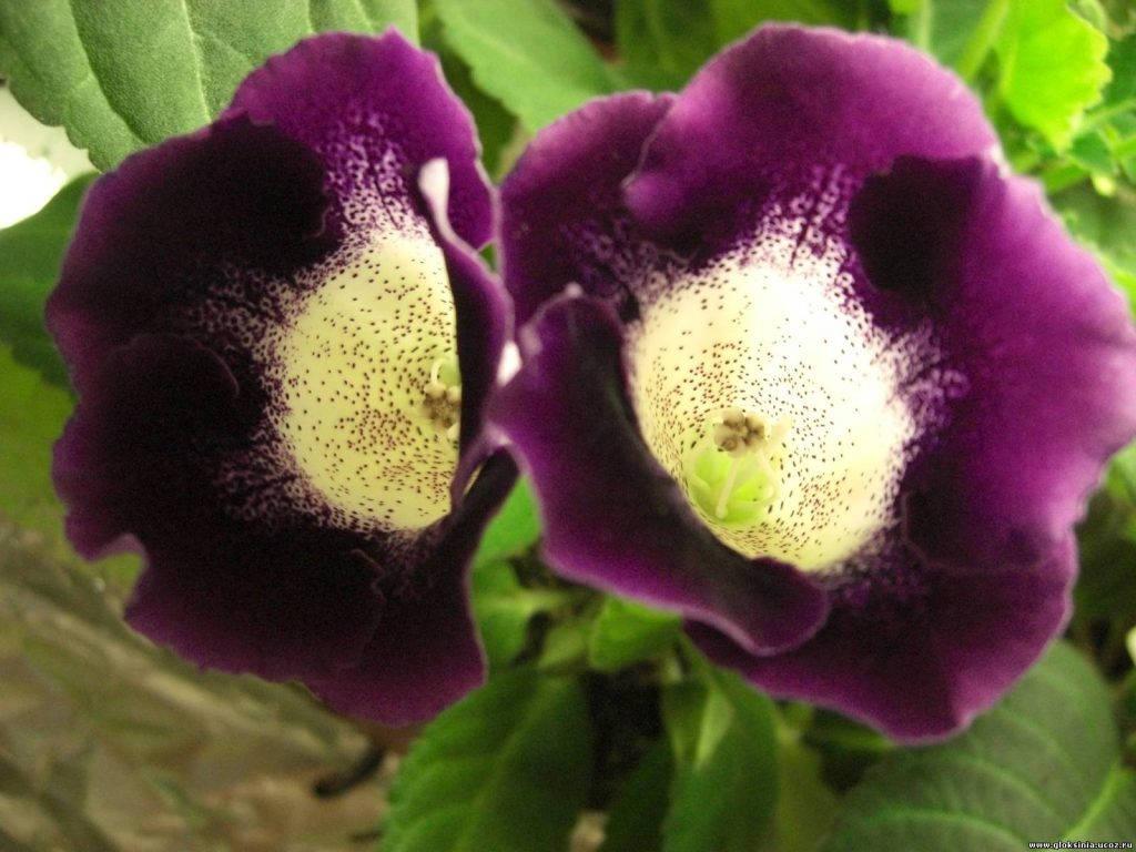 Фиолетовая глоксиния аванти