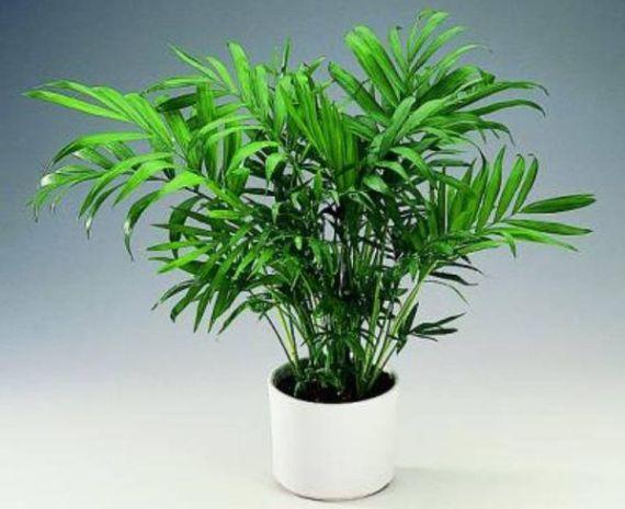 Пальма хламедореи одноцветной в белом горшке