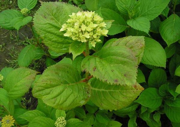 поражение листьев гортензии хлорозом