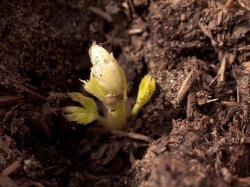 Отросток хмеля из семян
