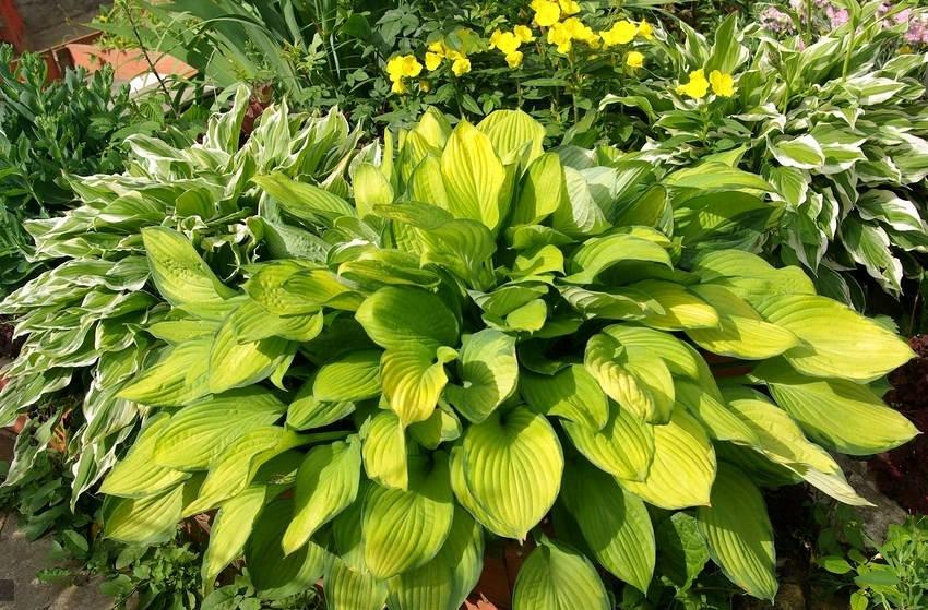 Желтая хоста в саду